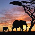 104101 To elefanter