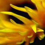 105127 Gul blomst