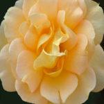 105129 Rose