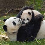 111106 Pandababy