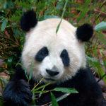 111108 Panda by suecan1