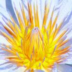 105104 Blomst lilla-gul