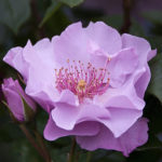 105150 Rose lyslilla